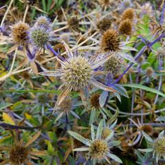 Sea holly (Dave_A_2007) Tags: eryngium flower nature plant seaholly teignmouth england