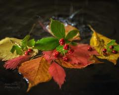 Autumn rain (la posie des images) Tags: laposiedesimages autumn rain stilllife fallcolors bokeh leaves itemsfoundonmywalkyesterday naturemorte lesobjetsquejaitrouvhierpendantmabalade