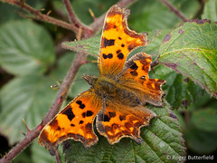 Comma (Roger B.) Tags: bramble butterfly comma polygoniacalbum rocherend rubusfruticosus sheffield southyorkshire unitedkingdom