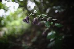 (HANAZONO) Tags: forest wildflower flower nature bokeh 24mm 24l f14 ef24mm noto japan hanazono