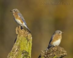 Bluebirds IMG_4707 (ronzigler) Tags: bluebird thrushes bird avian nature birdwatcher sigma 150600mm canon 60d