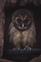 An owl (Syahrel Azha Hashim) Tags: dof nikon owl handheld claws colorimage 2016 shallow d300s light simple naturallight 55200mm colorful details feathers travel syahrel bird animal colors beautiful malaysia nopeople texture detail