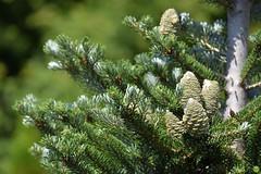 Pine cones selection #05 (petrOlly) Tags: europe europa poland polska polen garden inthegarden lodz summer tree trees pine pines pinecones nature natura przyroda green