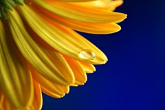 Flower (mak.27) Tags: yellow blue drop gaziantep trkiye turkey sony a58 water macro colors