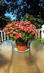 Fall Flowers (SurFeRGiRL30) Tags: outside fall flowers mums sun deck sunny sunlight indiansummer warm orange red pot flowerpot glasstable greenleaves trees deckfurniture bluesky beautifulday