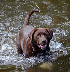 Brandysnapbabe (PottsyPics) Tags: furbaby fetch water wet chocolatelabrador swimming branch tree river rivertanat brown chocolate labrador splash