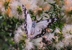 Caper White Butterfly - Belenois java - on our flowering gum tree (Royjackward) Tags: caper white butterfly belenois java