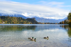 On a quest (TanaPerin) Tags: ducks swimming lake bled castle scenery scene triplet alps julian