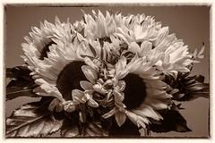 IMG_4801 (fsc9090) Tags: sunflowers flowers blumen sonnenblumen canon canon400d bw blackandwhite blackwhite schwarzweiss schwarzweis