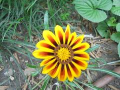035 (en-ri) Tags: giallo arancione sony sonysti fiorellini little flower