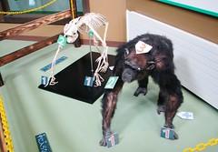 Pan troglodytes --  Chimpanzee 1210 (Tangled Bank) Tags: japan japanese asia asian asahiyama zoo zoological gardens hokkaido animal pan troglodytes chimpanzees 1212 ape primate
