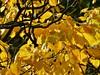 Gent herfst detail (1) (Johnny Cooman) Tags: gentmariakerke vlaanderen belgië bel gent ghent gand gante natuur belgium ベルギー flemishregion flandre flandes flanders flandern bélgica belgique belgien belgia flhregion eastflanders flora aaa panasonicdmcfz200 oostvlaanderen herfst autumn tree boom baum arbre