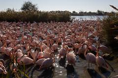 Flamant rose (Le Mhaut Sbastien) Tags: oiseaux camargue pont du gau