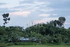 H504_3570 (bandashing) Tags: teagardens green lush field path tree bush tea sylhet manchester england bangladesh bandashing aoa akhtarowaisahmed socialdocumentary