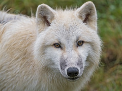 Young female arctic wolf looking at me (Tambako the Jaguar) Tags: female young portrait face cute lookin posing wolf canine canid white actic polar parcanimalier saintecroix park parc rhodes zoo france nikon d5