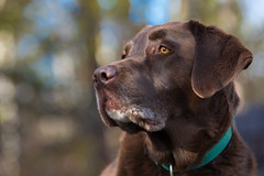 Chocolate Lab (chrisleboe) Tags: chocolatelab lab labrador labradorretriever retriever dog brown toby