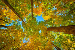 Looking Upward (Tarq Photography) Tags: trees sky upward leaves forest bunch bark outdoors