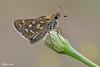 Hesperia comma (alfvet) Tags: macro farfalle hesperidae veterinarifotografi valsesia insetti butterflies natura butterfly ngc npc