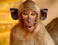 ,, Mirror Mirror On The Wall ,, (Jon in Thailand) Tags: monkey ears jungle nikon nikkor d300 70300vr eyes bigears wildlife primate wildlifephotography deepjungle