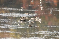 7K8A4619 (rpealit) Tags: scenery wildlife nature bombay hook national refuge shore birds dunlin bird