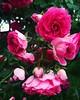 Cor de rosa! (deisegomes1) Tags: iphone corderosa garden flor rosa rose