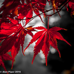 Delicate Autumn Red (PapaPiper) Tags: autumn autumncolours westonbirtarboretum england gloucestershire uk red leaf light tones contrast delicate acer purple greatphotographers greaterphotographers greatestphotographers ultimatephotographers