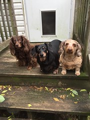All Three Looking (Tobyotter) Tags: dachshund link frank jimmydean