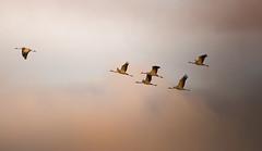 Cranes (Artur Rydzewski) Tags: cranes crane birds bird sunlight sunset sun sky clouds żuraw żurawie nature orange thecallangefactory challengegamewinner