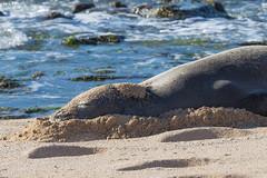 Hawaiin Monk Seal (lacomj) Tags: hookiipa monkseal ocean beach maui hawaii seal sea unitedstates us