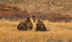Himalayan Brown Bears (Zahoor-Salmi) Tags: zahoorsalmi salmi wildlife pakistan wwf nature natural canon birds watch animals bbc flickr google discovery chanals tv lens camera 7d mark 2 beutty photo macro action walpapers bhalwal punjab
