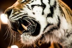 Tiger Fangs (RusakFox) Tags: sapporomaruyamazoo animals fang zoo tiger amurtiger アムールトラ トラ 札幌市円山動物園 牙 虎