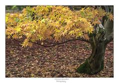 The golden flease (saundersc29) Tags: november nature leaves fall orange autumn colour tree acer