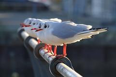 A flock of seagulls (The Green Album) Tags: seagulls flock line parade metal bannister looking birds fuji xt2 nature symmetry beaks