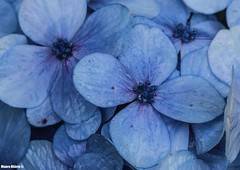 Hydrangea macrophylla (Mauro Hilrio) Tags: flora flower blue closeup macro nature azores petals hydrangea macrophylla plant hortensia detail