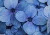 Hydrangea macrophylla (Mauro Hilário) Tags: flora flower blue closeup macro nature azores petals hydrangea macrophylla plant hortensia detail