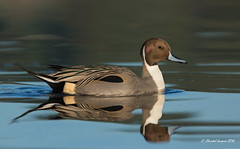 Another elegant one; duck style (Chantal Jacques Photography) Tags: elegantduck wildandfree duck bokeh depthoffield esquimaltlagoon northernpintail