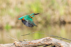 Kingfisher in motion (dave_poth) Tags: