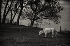 Against the wind (8230This&That) Tags: horse fhhr freedomhillhorserescue windyday blackandwhite owings md