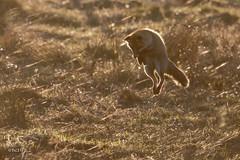 Renard roux qui mulote  la fin du jour (sfrancois73) Tags: mammifre renardroux faune