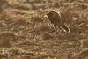 Renard roux qui mulote à la fin du jour (sfrancois73) Tags: mammifère renardroux faune
