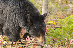 Mama Bear (ChicagoBob46) Tags: blackbear bear sow yellowstone yellowstonenationalpark nature wildlife