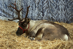 Relaxing, ahead of the main event! (SteveJM2009) Tags: reindeer stewarts broomhill holt dorset uk december 2016 stevemaskell naturethroughthelens