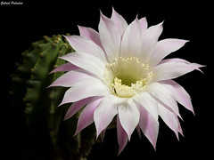 Echinopsis eyriesii (GaboUruguay) Tags: detail detalle cactaceae cactcea succulent suculenta crasa sx50 planta flor canon cactus plant flower bloom blooming spring summer pink floracinprimaveral blackbackground hedgehogcactus seaurchincactus easterlilycactus powershot nature naturaleza natural life live specimen echinopsis background taxonoma plantae magnoliophyta magnoliopsida caryophyllidae caryophyllales cactoideae trichocereeae eyriesii scientific classification