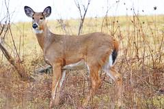 white-tailed deer doe at Lake Meyer Park IA 854A3071 (lreis_naturalist) Tags: whitetailed deer doe lake meyer park winneshiek county iowa larry reis