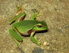 Leaf-green Tree Frog (Litoria phyllochroa) (Heleioporus) Tags: leafgreen tree frog litoria phyllochroa south sydney new wales