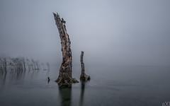 Racines assoiffées (Axel Steinars.) Tags: tree arbre lac lake fog switzerland