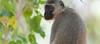 The vervet monkey (Chlorocebus pygerythrus) (annick vanderschelden) Tags: africa southafrica southernafrica wilderness nature trees nationalpark adventure safari animal birds visitor species naturalworld livingorganism biodiversity wildlifereserve nationalwildlifereserve explore vegetation tourist eco naturereserve conservationarea habitat animalwildlife wildernessarea beautyinnature backtonature naturalist picturesque lowveld tranquility animalsandplants thevervetmonkey chlorocebuspygerythrus monkey ape
