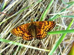 Butterfly 670 (+270000 views!) Tags: butterfly papillon borboleta mariposa farfalla schmetterling