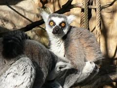 Stockholm: Lemur in Skansen Museum (Ram666ram) Tags: animals zoo funny stockholm natura occhi lemur skansen animali svezia buffo