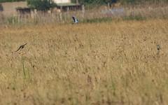 Rollier d'Europe - IMG_7841 (6franc6) Tags: 30 rando languedoc gard balade 2015 vélo août 6franc6